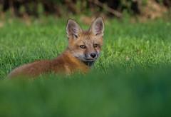 Little fox (Sammyboy77) Tags: renardroux redfox vulpesvulpes cub