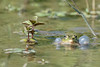 Le géant vert !!! (denis.loyaux) Tags: denis loyaux domaine des oiseaux nikon afs600f4vr d5 ariege mazères france grenouille verte