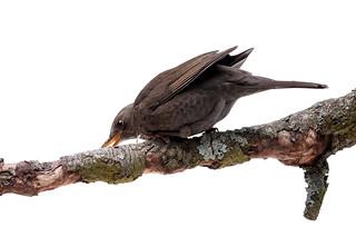 turdus merula bird isolated