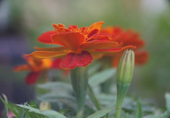 DSC08240 (Old Lenses New Camera) Tags: sony a7r reichert neupolar 100mm f63 macro plants garden flowers marigolds