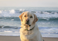 Puller at the Ocean (lablue100) Tags: dogs ocean sea water nature beach sand waves labs lab yellowlab retriever labradorretriever love best face action