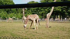 Giraffe  Whipsnade (ruth.westwood) Tags: