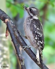 Female Downy Woodpecker (Suzanham) Tags: woodpecker downywoodpecker bird female nature wildlife mississippi canonpowershotsx60hs tree branch