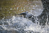 Cormorant shaking water (Tambako the Jaguar) Tags: cormorant bird profile portrait close shaking spilling water drops action basel zoo zolli switzerland nikon d5