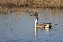 Northern Pintail at sunrise! (Canon Queen Rocks (2,082,000 + views)) Tags: ducks northernpintail breedingplumage feathers wildlife water wings wild nature markings colours alberta canada reflections male momentsbycelinecom