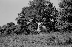 Lamb (graemes83) Tags: pentax kodak eastman 5222 double x xx film 35mm 135 d96 black white monochrome