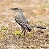 This may be the culprit... (Kamal50) Tags: nature wildlife avian amazing aves beautiful bokeh background animal canon natural neotropical new world grass weeds ground wild