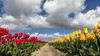 Red, Yellow, White, Green and Blue (BraCom (Bram)) Tags: 169 bracom bramvanbroekhoven goereeoverflakkee holland nederland netherlands southholland zuidholland blad bloemen cloud depth diepte flowers frühling geletulpen leaf lente pad path printemps redtulips rij rodetulpen row sky spring tulip tulips tulp tulpen widescreen wolk yellowtulips nl