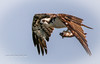 Osprey Fly-By (tclaud2002) Tags: osprey bird birdofprey raptor prey fly flying flight wildlife animal outdoors phippspark stuart florida usa