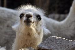 Days Like This (FlorDeOro) Tags: nikond90 tamron16300mm photography animal llama crazy zoo chile mijarajc
