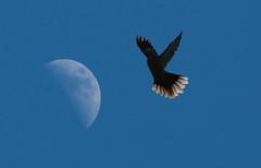 Vol lunaire (Pi-F) Tags: lune ciel animal tourterelle oiseau vol plume composition astre bleu 400mm téléobjectif transparence