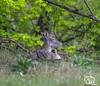 rondje-awd-april2018-13 (voorhammr) Tags: 2018 aalscholver alexandro amsterdamsewaterleidingduinen eend herten kuifeend paard reiger zwaan aerdenhout noordholland nederland nl