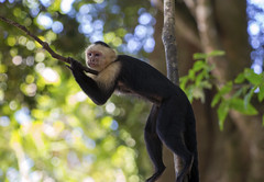 Manuel Antonio Region 22 (richardjack57) Tags: capuchinmonkey monkey costarica manuelantoniocostarica nature wildlife canon canoneos6d canonzoom70200mmf28isllusm yongnuoextenderef2xlll travelphotography travel centralamerica