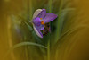 Biene an Krokusblüte (Julius310) Tags: makro makrofotografie animals macro macrofotografie frühling spring natur naturfotografie nahaufnahme nikon krokus frühblüher krokusblüte blüten insekten bienen pollen garten motiv d7200 thebestofgodscreation