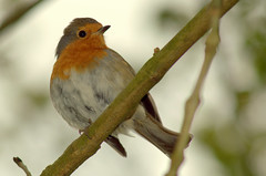 Early Robin (Tony Worrall) Tags: preston lancs lancashire city england regional region area northern uk update place location north visit county attraction open stream tour country welovethenorth nw northwest britain english british gb capture buy stock sell sale outside outdoors caught photo shoot shot picture captured ashtononribble ashton nature bird birds feathers wild fowl wildlife fly outdoor park cute fun robin perch red breast twig