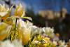 Die Tulpen von Trauttmanndorff (H. Eisenreich) Tags: eisenreich hans fujifilm xt1 garden gärten spring schloss meran altoadige südtirol castle trauttmanndorff garten tulip bokeh tulpe