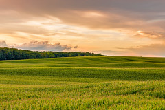 Rolling corn field at dusk (mdejesus73) Tags: cornfield country landscape cornfields newhamburgontario southwestontario sigma1750mmf28exdcoshsm hills rollinghills