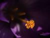 Soleil ... (sosivov) Tags: macro crocus gold yellow violet lilac sweden spring pistil