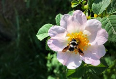 Blooming wild rose with bee (nenos_79) Tags: insect bee flyingbee rosehip wildrose dreamsmacro macro nature blooming beautiful flower flora plant bulgaria plovdiv iphonephotography