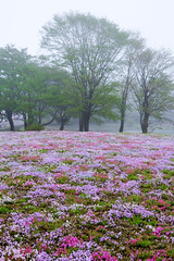 in the mist (peaceful-jp-scenery (busy)) Tags: mossphlox fujishibazakurafestival mountfuji asagiri highland yamanashi 富士芝桜まつり 富士山 朝霧高原 芝桜 富士河口湖町 山梨 日本 fujifilm xt20 xf1855mmf284rlmois