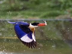 Black-capped Kingfisher _ Boluo ☺☺ (mahi mahi 163) Tags: kingfisher 80400mm china
