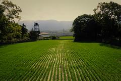 Rizière encore (8pl) Tags: rizière culture campagne taïwan agriculture champs riz parcelle arbres vert ensoleillé champderiz