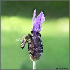 Lavande (ge.chapuis) Tags: fleur flower abeille bee pentaxart nature