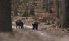 Wild Zwijn - Sus scrofa - Wild Boar (merijnloeve) Tags: wild zwijn sus scrofa boar uddel uddelderheegde ge koninklijke houtvesterijen apeldoorn gemeente