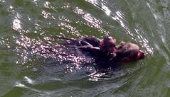 DSC_0677 (rajashekarhk) Tags: monkeys motherandchild jollyride stream river water ride sengotai fortcomplex nikon nature naturephotography ripples force swim monkey monkeyswimming rajashekar hkr wildlife