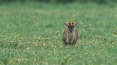 Muntjac (pstani) Tags: cambridgeshire england europe greatbritain littlepaxton localnaturereserve paxtonpits animal barkingdeer deer fauna muntjac
