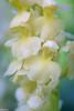 the wrong pollen (Tschissl) Tags: pflanzen orchis austria vintagelens orchideen steiermark location steinheilcassar2850 orchids blumen flowers österreich
