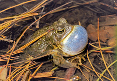 Singing toad (speech path girl) Tags: toad anaxyrus amphibian singing anaxyrusboreas bufoboreas westerntoad borealtoad