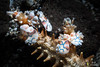 Repas de couple (DocTroll) Tags: prédation crustacés plongée macro crevettes sonyrx100m2 comportement iledelaréunion hymenocerapicta 2flashs décapodes côteouest behavior crevettearlequin harlequinshrimp