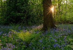 Spring Evening in Ecclesall Woods, Sheffield (Peter Quinn1) Tags: ecclesallwoods sheffield southyorkshire sunburst starburst woodland bluebells bluebellwood spring fern