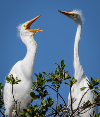 Come on, sing along! (fins'n'feathers) Tags: egret greategret babies nearlygrown older birds wadingbirds rookery nest alligatorfarmstaugustine florida