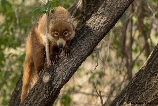 (EXPLORE) - White-nosed Coati (Nasua narica) - Paradise, AZ