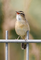 Rainham singing Sedge Warbler