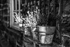 31/100: Another pot on the wall (judi may) Tags: 100xthe2018edition 100x2018 image31100 monochrome mono monochromebokehthursday plants pots plantpots heather window wall blackandwhite textures canon5d bokeh depthoffield dof
