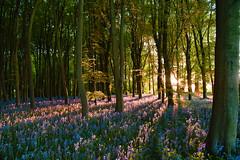 Bluebell Woods Sunset (Free.heel) Tags: bluebells beechtrees badburyhill badburyclump nikond810 nikon247028g