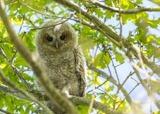 Tawny Owlet, Strix aluco