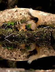 squirrel (colskiguitar) Tags: squirrel squirrels mammal scotland wildlife ticks reds drey