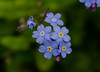 Forget-me-not flowers (frankmh) Tags: plant flower forgetmenot hittarp skåne sweden macro