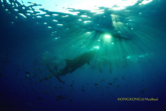 Sunrise Feeding (kayak_no1) Tags: nikon d800e nauticamhousing 15mmsigmafisheye fisheye ysd1 underwater underwaterphotography wa wideangle diving scubadiving uw moalboal philippines whaleshark obslob cebu