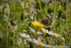 Mariposa (Miguel Garcia.) Tags: mariposa margarita canon 100d sigma70300 apo campo bokeh verde naturaleza