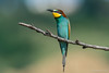 Merops apiaster ( Gruccione, European bee-eater). (Ciminus) Tags: coth naturesubjects aves ornitology nature ciminus birds ciminodelbufalo wildlife gruccioni europeanbeeeaters oiseaux nikond500 meropsapiaster afsnikkor500mmf4gedvrii uccelli ornitologia coth5