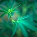 cannabis marihuana planta-31