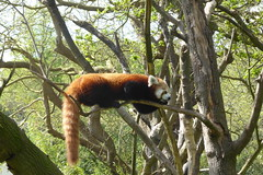 Dublin Zoo (MargrietPurmerend) Tags: redpanda phoenixpark dublin dublinzoo