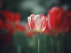 simulated film style (Kito K (fxkito2)) Tags: japan tokyo macro tulip flower omd bokeh nature closeup lumix fineart olympus dof
