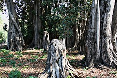 Jardín de Ayora - València (Kiko Colomer) Tags: francisco jose colomer pache kiko valencia valence jardin ayora aiora arboles plantas tronco jardí