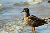 Mallard on the shore (Tim Lindstedt) Tags: eos timlindstedt inspiration image photo photograph photography picture province april afternoon art animal alone one sweden sverige scenery scenic scenary season seasons slr spring sunny digital dslr flickr shore lake light canon composition color colors västerås beautiful beauty bird nature naturallight natural mallard